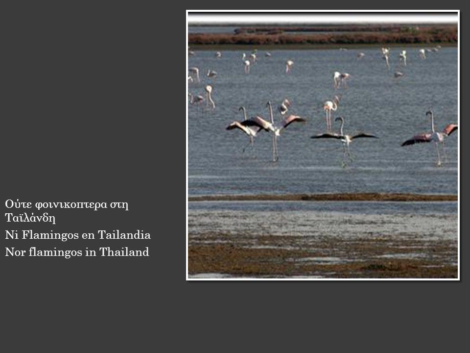 Ούτε φοινικοπτερα στη Ταϊλάνδη Ni Flamingos en Tailandia Nor flamingos in Thailand