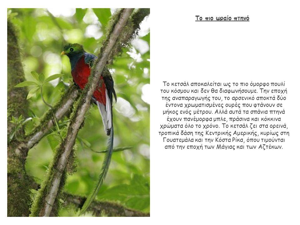 Το πιο ωραίο πτηνό Το κετσάλ αποκαλείται ως το πιο όμορφο πουλί του κόσμου και δεν θα διαφωνήσουμε. Την εποχή της αναπαραγωγής του, το αρσενικό αποκτά
