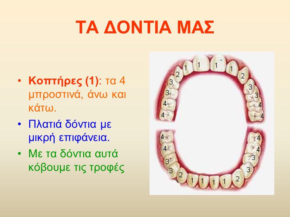 Κοπτήρες (1): τα 4 μπροστινά, άνω και κάτω. Πλατιά δόντια με μικρή επιφάνεια. Με τα δόντια αυτά κόβουμε τις τροφές