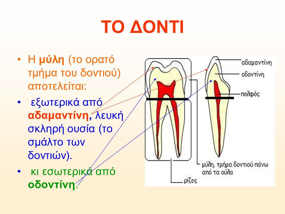 ΤΟ ΔΟΝΤΙ Η μύλη (το ορατό τμήμα του δοντιού) αποτελείται: εξωτερικά από αδαμαντίνη, λευκή σκληρή ουσία (το σμάλτο των δοντιών). κι εσωτερικά από οδοντ
