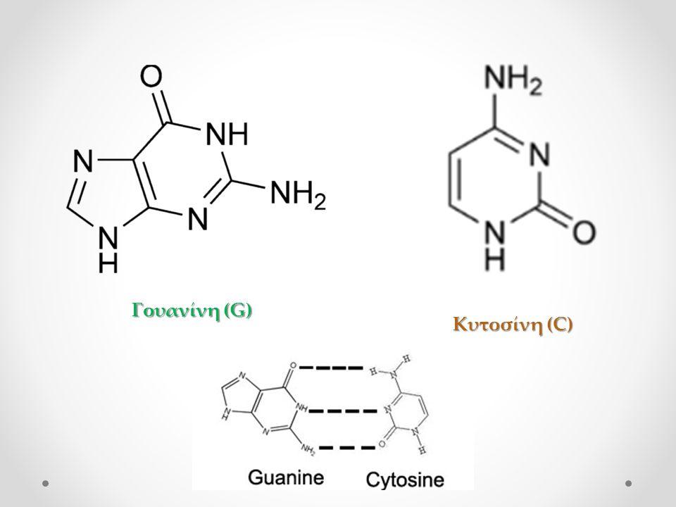 Κυτοσίνη (C) Γουανίνη (G)