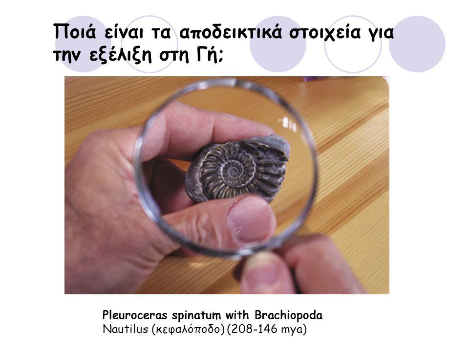 Ποιά είναι τα αποδεικτικά στοιχεία για την εξέλιξη στη Γή; Pleuroceras spinatum with Brachiopoda Nautilus (κεφαλόποδο) (208-146 mya)