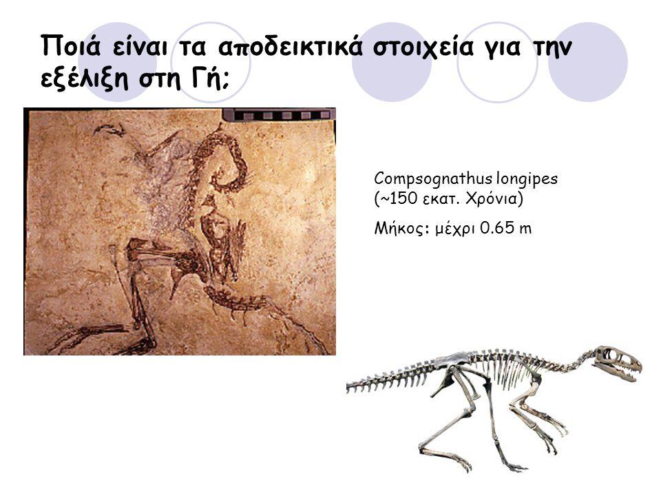 Ποιά είναι τα αποδεικτικά στοιχεία για την εξέλιξη στη Γή; Compsognathus longipes (~150 εκατ. Χρόνια) Μήκος: μέχρι 0.65 m