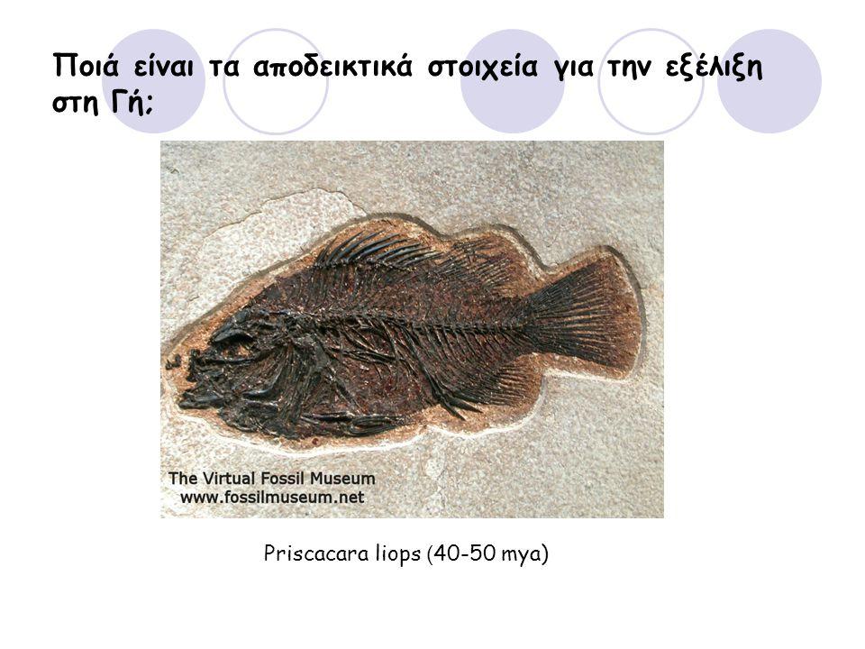 Ποιά είναι τα αποδεικτικά στοιχεία για την εξέλιξη στη Γή; Priscacara liops ( 40-50 mya)