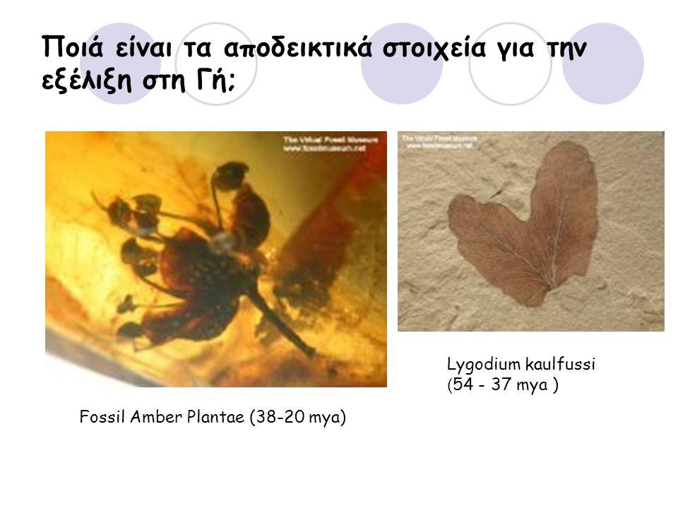 Ποιά είναι τα αποδεικτικά στοιχεία για την εξέλιξη στη Γή; Fossil Amber Plantae (38-20 mya) Lygodium kaulfussi ( 54 - 37 mya )