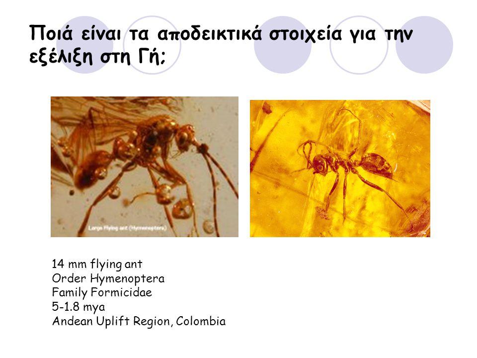 Ποιά είναι τα αποδεικτικά στοιχεία για την εξέλιξη στη Γή; 14 mm flying ant Order Hymenoptera Family Formicidae 5-1.8 mya Andean Uplift Region, Colomb