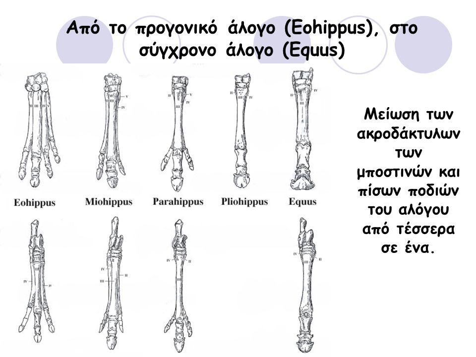 Μείωση των ακροδάκτυλων των μποστινών και πίσων ποδιών του αλόγου από τέσσερα σε ένα.