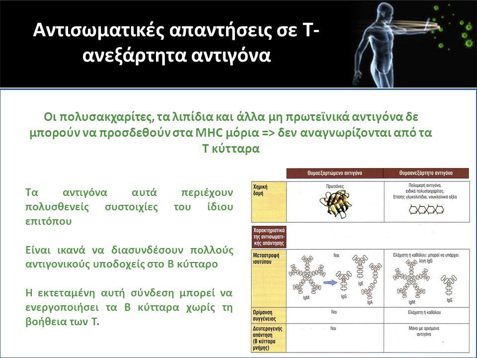 Αντισωματικές απαντήσεις σε Τ- ανεξάρτητα αντιγόνα Οι πολυσακχαρίτες, τα λιπίδια και άλλα μη πρωτεϊνικά αντιγόνα δε μπορούν να προσδεθούν στα MHC μόρι