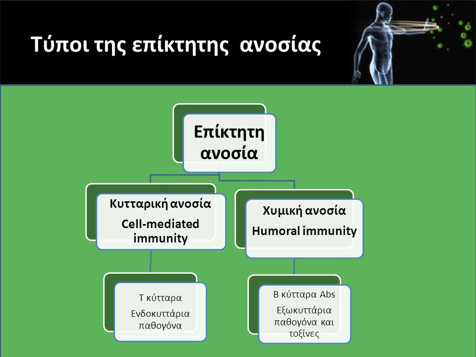 Β κύτταρα μνήμης  Κλάσμα ενεργοποιημένων Β κυττάρων, απόγονοι υψηλής συγγένειας Β κυττάρων που έχουν υποστεί μεταστροφή τάξης, γίνονται κύτταρα μνήμης  Εκφράζουν επιφανειακές ανοσοσφαιρίνες αλλά δεν εκκρίνουν αντισώματα  Κυκλοφορούν στο αίμα για μήνες ή έτη  Ανταποκρίνονται γρήγορα σε νέα επαφη με το αντιγόνο