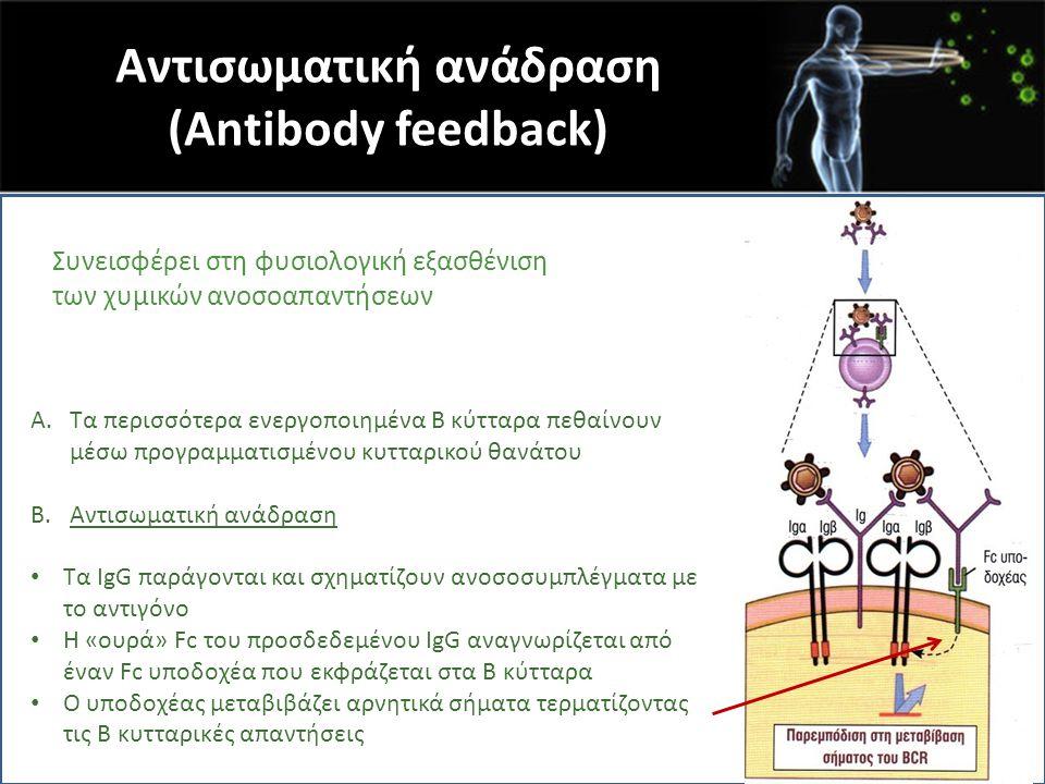 Αντισωματική ανάδραση (Antibody feedback) j A.Τα περισσότερα ενεργοποιημένα Β κύτταρα πεθαίνουν μέσω προγραμματισμένου κυτταρικού θανάτου B.Αντισωματι
