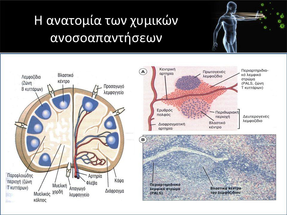 Βλαστικό κέντρο Πολλαπλασιαζόμενα Β λεμφοκύτταρα Δενδριτικά κύτταρα Β λεμφοκύτταρα σε ηρεμία CD4 T λεμφοκύτταρα