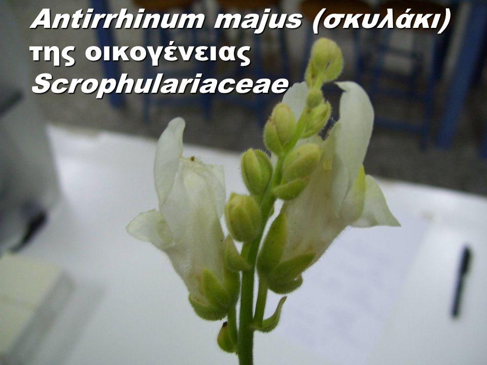 Antirrhinum majus (σκυλάκι) της οικογένειας Scrophulariaceae