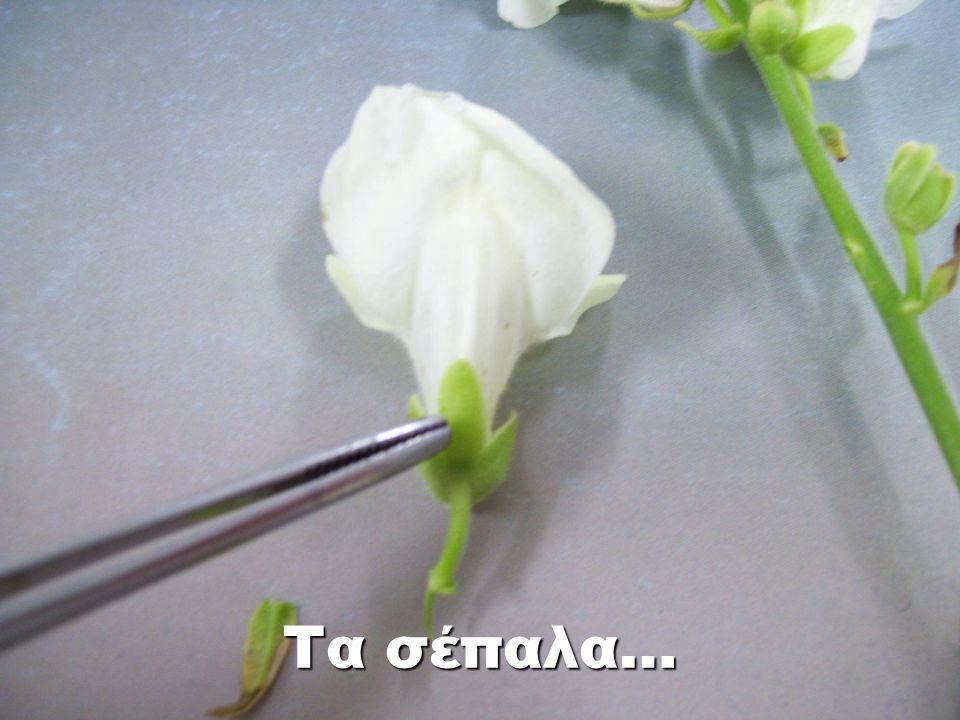 Στύλος του υπέρου Συνδέει το στίγμα με την ωοθήκη.