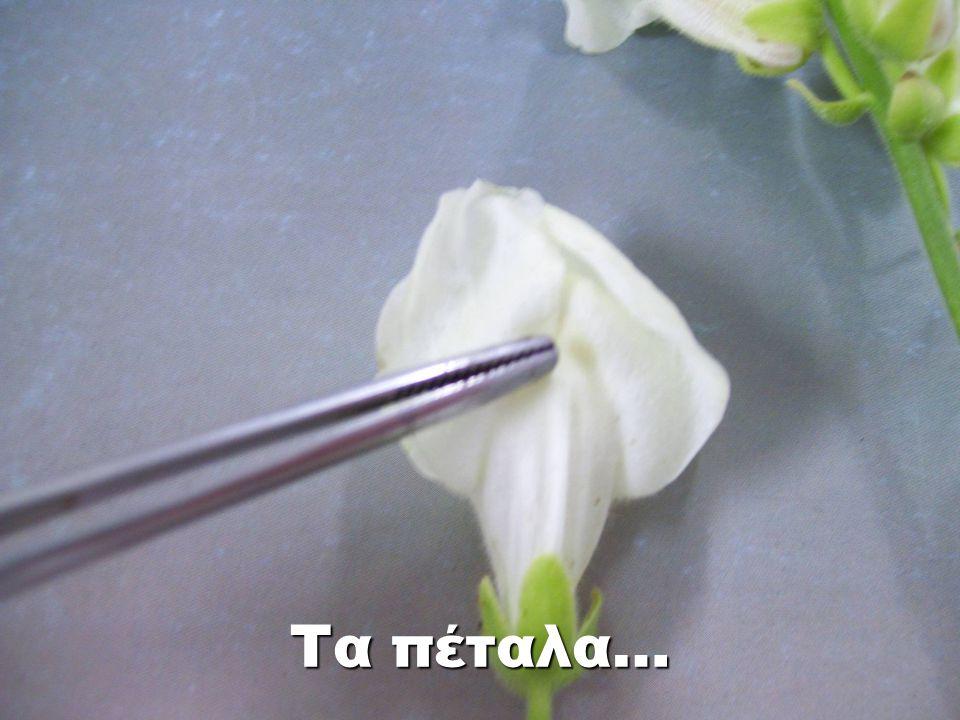 ωοθήκη Μέσα στην ωοθήκη βρίσκονται οι σπερματικές βλάστες.