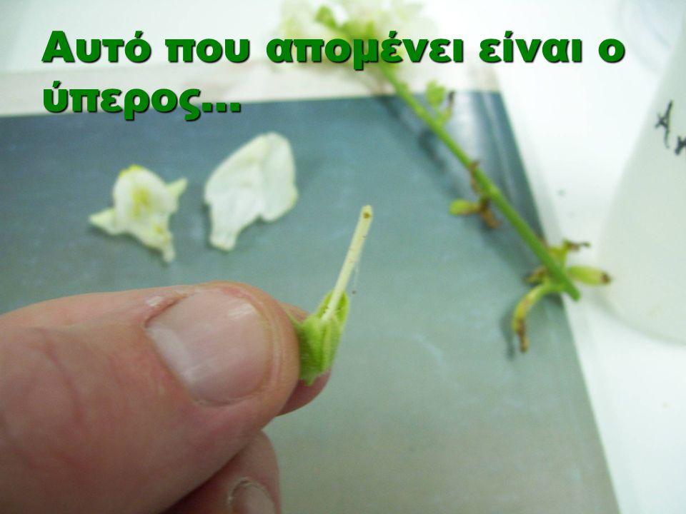 Τα ανθόφυτα, δηλαδή τα φυτά που έχουν άνθη, αναπαράγονται με αμφιγονία.