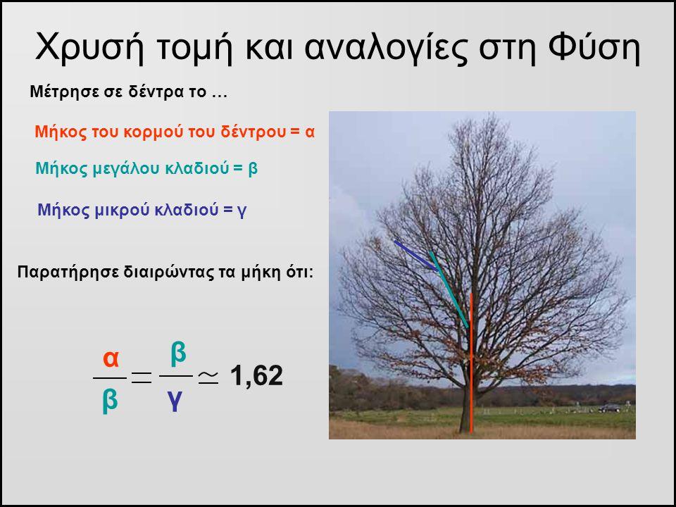 Χρυσή τομή και αναλογίες στη Φύση Μέτρησε σε δέντρα το … Μήκος του κορμού του δέντρου = α Μήκος μεγάλου κλαδιού = β Μήκος μικρού κλαδιού = γ γ β Παρατ