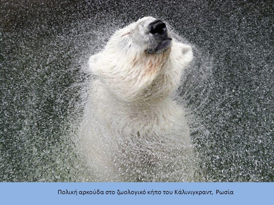 Πολική αρκούδα στο ζωολογικό κήπο του Κάλινιγκραντ, Ρωσία