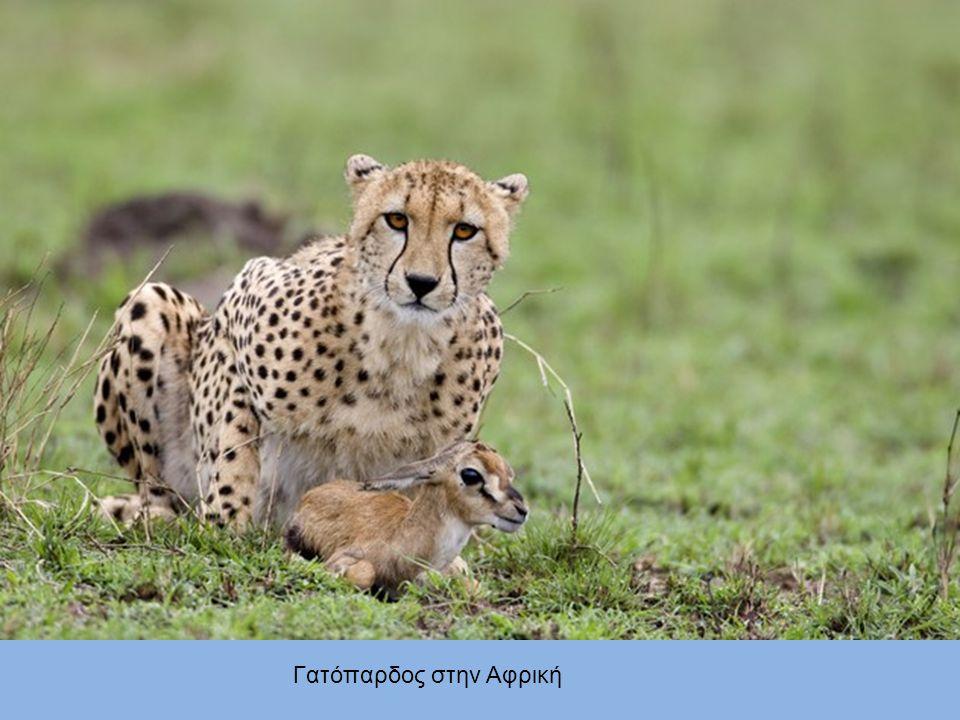 Γατόπαρδος στην Αφρική