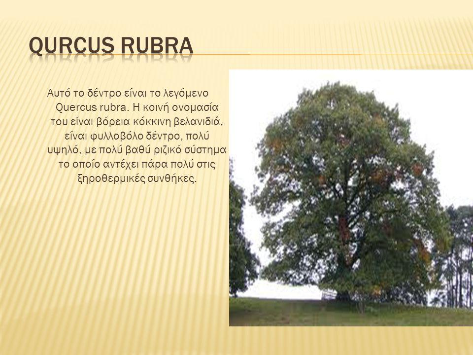 Αυτό το δέντρο είναι το λεγόμενο Quercus rubra. Η κοινή ονομασία του είναι βόρεια κόκκινη βελανιδιά, είναι φυλλοβόλο δέντρο, πολύ υψηλό, με πολύ βαθύ