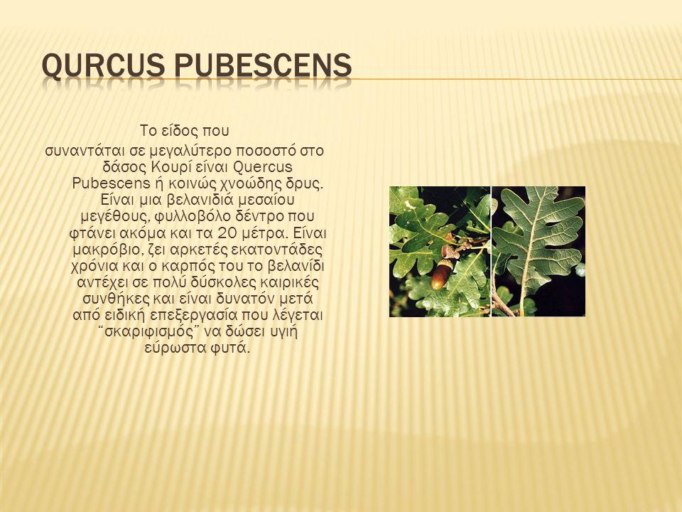 Το είδος που συναντάται σε μεγαλύτερο ποσοστό στο δάσος Κουρί είναι Quercus Pubescens ή κοινώς χνοώδης δρυς. Είναι μια βελανιδιά μεσαίου μεγέθους, φυλ
