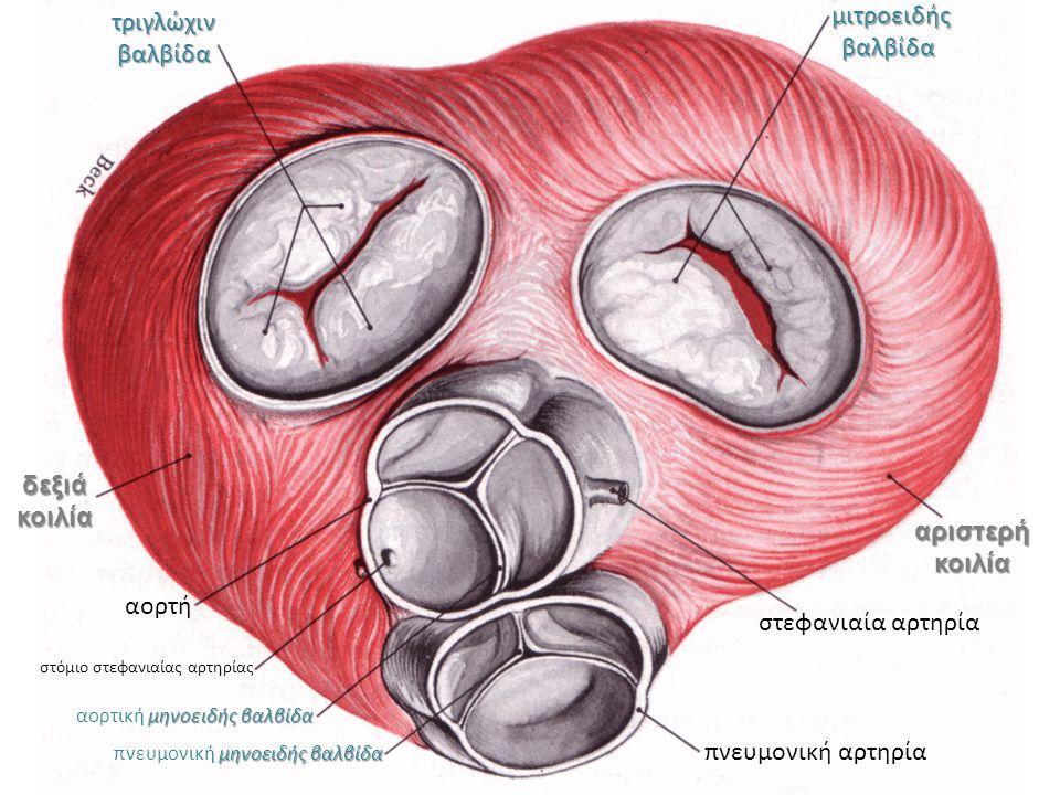 τριγλώχιν βαλβίδα μιτροειδής βαλβίδα μιτροειδής βαλβίδα στεφανιαία αρτηρία αριστερή κοιλία πνευμονική αρτηρία δεξιά κοιλία μηνοειδής βαλβίδα πνευμονικ
