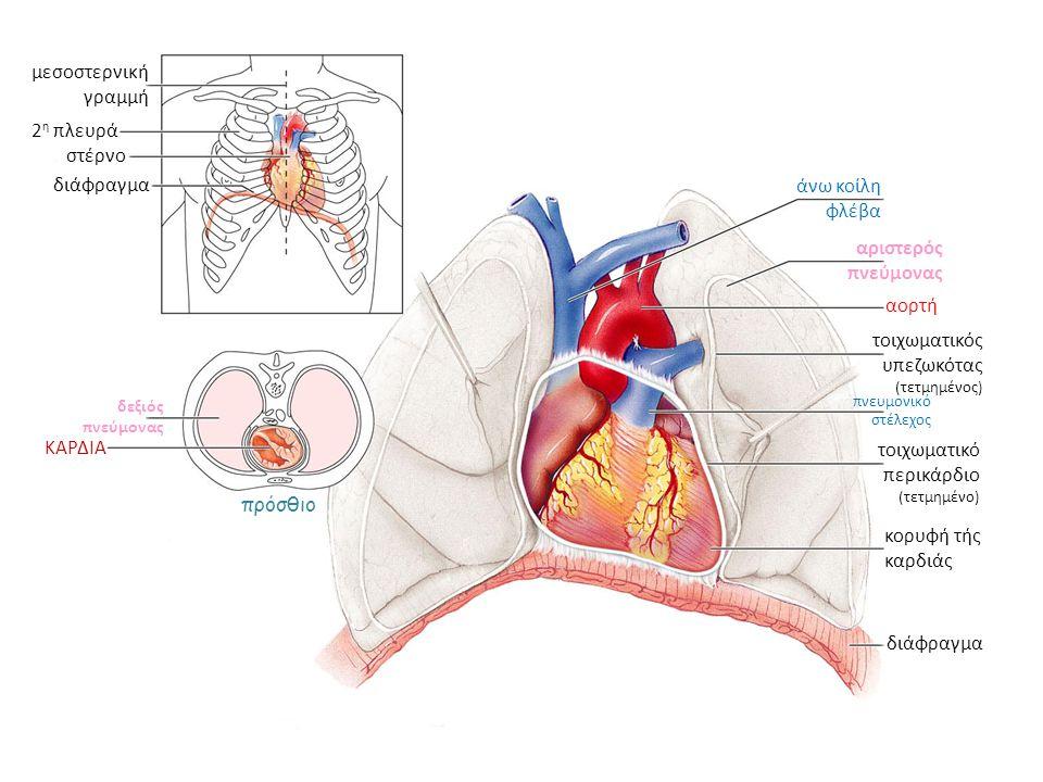 μεσοστερνική γραμμή 2 η πλευρά στέρνο διάφραγμα δεξιός πνεύμονας ΚΑΡΔΙΑ πρόσθιο διάφραγμα κορυφή τής καρδιάς τοιχωματικό περικάρδιο (τετμημένο) τοιχωμ