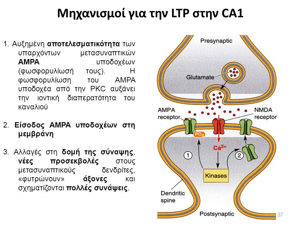 Μηχανισμοί για την LTP στην CA1 1. Αυξημένη αποτελεσματικότητα των υπαρχόντων μετασυναπτικών AMPA υποδοχέων (φωσφορυλίωσή τους). Η φωσφορυλίωση του ΑΜ