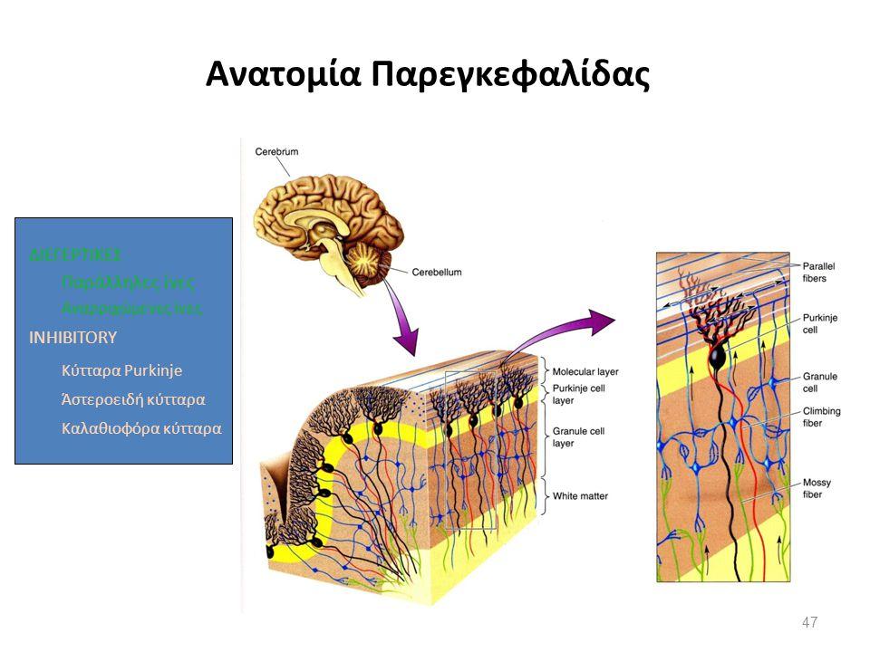 Ανατομία Παρεγκεφαλίδας ΔΙΕΓΕΡΤΙΚΕΣ Παράλληλες ίνες Αναρριχώμενες ίνες INHIBITORY Κύτταρα Purkinje Άστεροειδή κύτταρα Καλαθιοφόρα κύτταρα 47