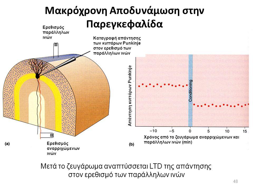 Μακρόχρονη Αποδυνάμωση στην Παρεγκεφαλίδα Μετά το ζευγάρωμα αναπτύσσεται LTD της απάντησης στον ερεθισμό των παράλληλων ινών Ερεθισμός παράλληλων ινών