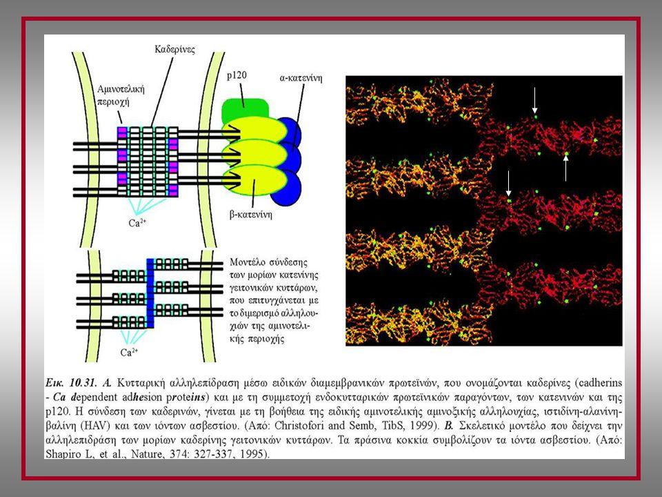 Μοριακοί σύνδεσμοι Καδερινών & κυτταροσκελετού Ρύθμιση προσκόλλησης κυττάρων ΤΑΞΙΝΟΜΗΣΗ α-κατενίνες (102 kDa) Σύνδεση με ινίδια ακτίνης Στρατολόγηση από & σύνδεση με β- & γ-κατενίνη Ενεργοποίηση p120 Cas Tyrosine Kinase (κινάση τυροσίνης) 2 ισομορφές: αΕ & αΝ Δομική ομοιότητα με βινκουλίνη β-κατενίνες (88 kDa) (Προσαρμογέας α-κατενίνης) Σύνδεση στο κυτταροπλασματικό τμήμα των καδερινών γ-κατενίνες (80 kDa) (Προσαρμογέας α-κατενίνης) Σύνδεση στο κυτταροπλασματικό τμήμα των καδερινών p120 Cas Στρατολόγηση πολλών πρωτεϊνών Συγκρότηση/αποσυγκρότηση ΕΣΤΙΩΝ ΠΡΟΣΚΟΛΛΗΣΗΣ