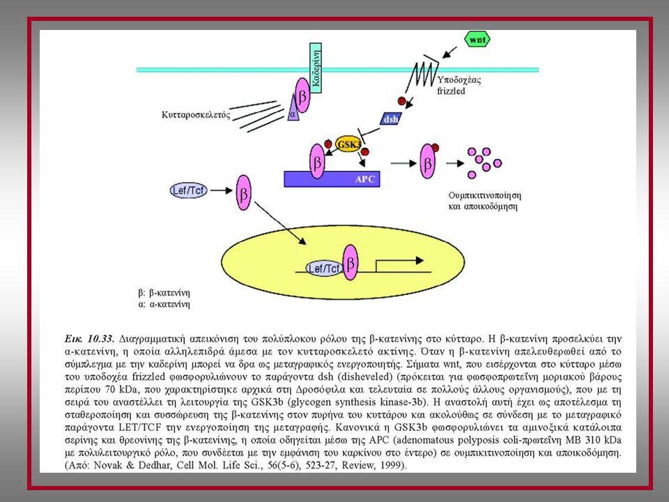 ΣΥΜΜΕΤΟΧΗ ΤΩΝ G-ΠΡΩΤΕΪΝΩΝ (ΕΤΕΡΟΤΡΙΜΕΡΕΙΣ) ΣΤΟ ΣΥΜΠΛΟΚΟ ΚΑΔΕΡΙΝΗΣ-ΚΑΤΕΝΙΝΗΣ Υπο-οικογένεια Gα12 (και Gα13) Έλεγχος σύνδεσης καδερίνης-κατενίνης Αλληλεπίδραση Gα12/13-Καδερίνης (κυτταροπλασματικό τμήμα) Πρόκληση αποδέσμευσης β-κατενίνης (από καδερίνη) Ρόλος ΜΟΡΙΑΚΩΝ ΔΙΑΚΟΠΤΩΝ (G-πρωτεΐνες) Κυτταρική προσκόλληση Κυτταρική κίνηση Δυναμική κυτταρική οργάνωση smGTPases (small GTPases: μικρές GTPάσες) Ras πρωτεΐνες (υπεροικογένεια) GTPases (μονομερείς) (μικρές) ~ 50 γονίδια (διακριτά, εκτός της ογκοπρωτεΐνης Ras) Rho smGTPases (Ras-συσχετιζόμενες) Cdc42 Rac1