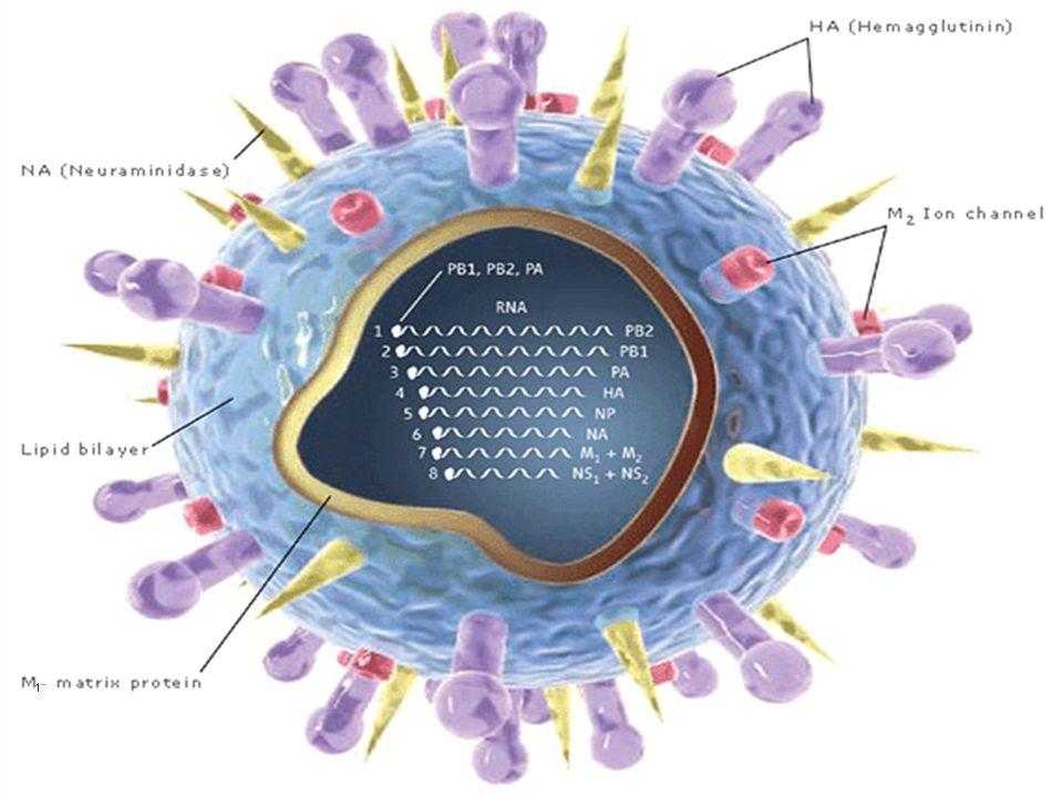 Παθογένεια γρίπης Εισελθών ιός: προσκόλληση, είσδυση, πολλαπλασιασμός στα επιθηλιακά κύτταρα των αναπνευστικών βλεννογόνων.