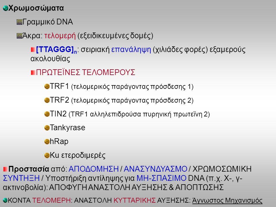 Χρωμοσώματα Γραμμικό DNA Άκρα: τελομερή (εξειδικευμένες δομές) [ΤΤΑGGG] n : σειριακή επανάληψη (χιλιάδες φορές) εξαμερούς ακολουθίας ΠΡΩΤΕΪΝΕΣ ΤΕΛΟΜΕΡΟΥΣ TRF1 (τελομερικός παράγοντας πρόσδεσης 1) TRF2 (τελομερικός παράγοντας πρόσδεσης 2) TIN2 (TRF1 αλληλεπιδρούσα πυρηνική πρωτεΐνη 2) Tankyrase hRap Ku ετεροδιμερές Προστασία από: ΑΠΟΔΟΜΗΣΗ / ΑΝΑΣΥΝΔΥΑΣΜΟ / ΧΡΩΜΟΣΩΜΙΚΗ ΣΥΝΤΗΞΗ / Υποστήριξη αντίληψης για ΜΗ-ΣΠΑΣΙΜΟ DNA (π.χ.