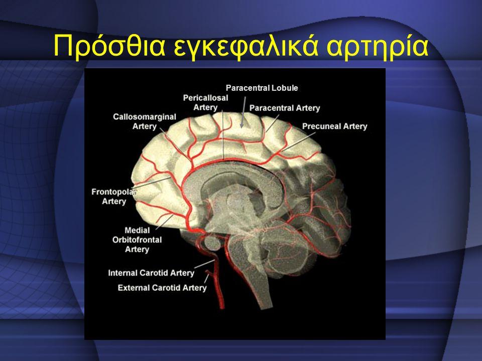 Πρόσθια εγκεφαλικά αρτηρία Paracentral Lobule