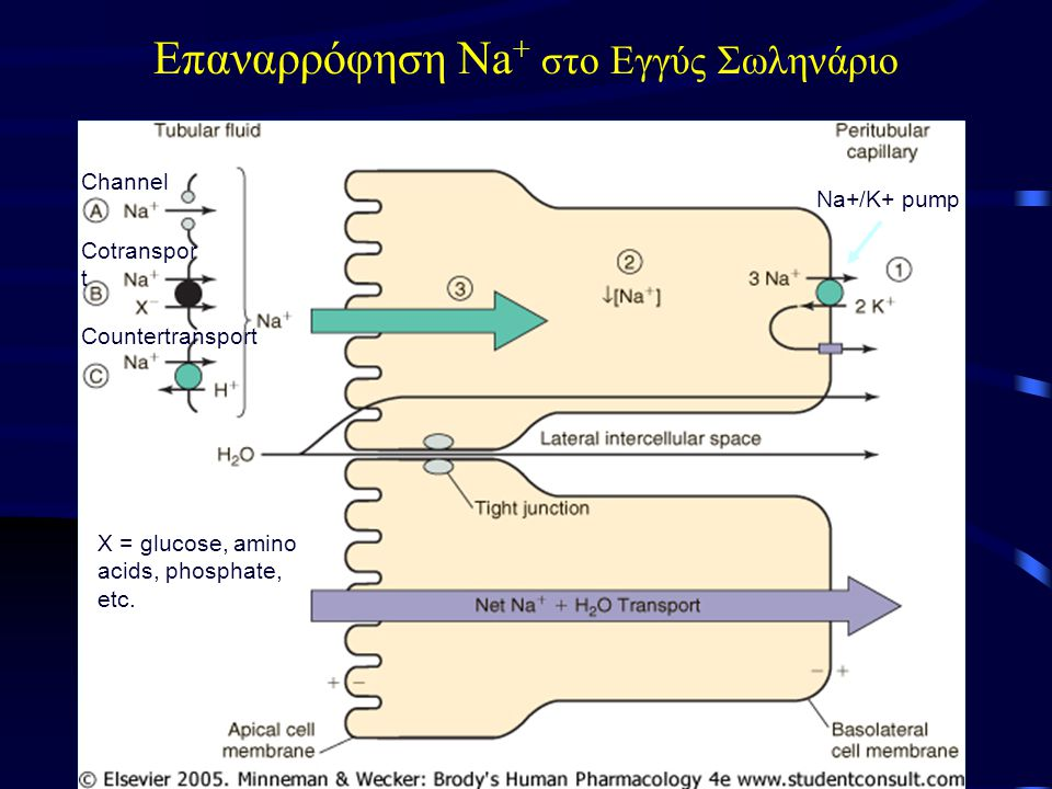 Επαναρρόφηση Na + στο Εγγύς Σωληνάριο Channel Cotranspor t Countertransport Na+/K+ pump X = glucose, amino acids, phosphate, etc.