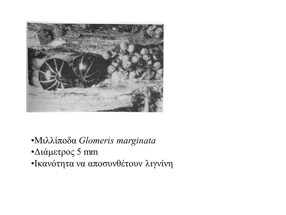 Μιλλίποδα Glomeris marginata Διάμετρος 5 mm Ικανότητα να αποσυνθέτουν λιγνίνη
