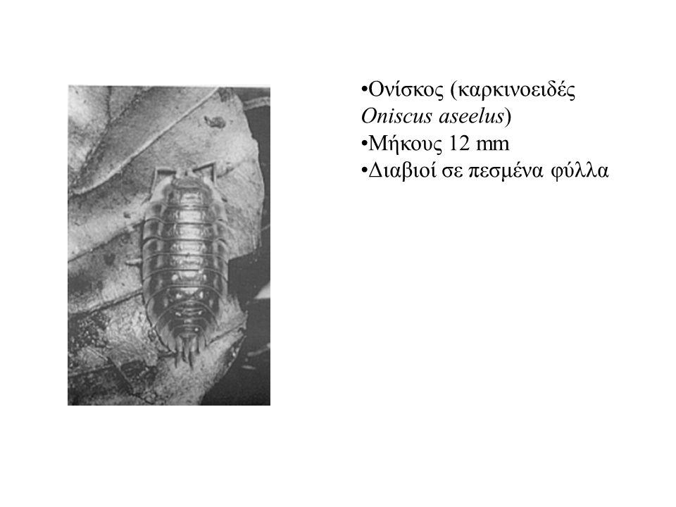 Ονίσκος (καρκινοειδές Oniscus aseelus) Μήκους 12 mm Διαβιοί σε πεσμένα φύλλα