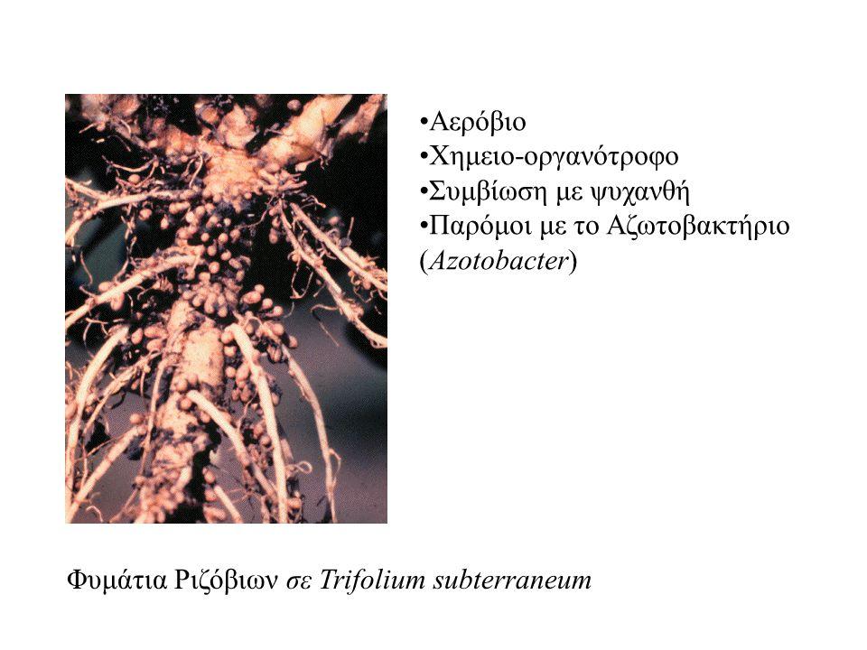Φυμάτια Ριζόβιων σε Trifolium subterraneum Αερόβιο Χημειο-οργανότροφο Συμβίωση με ψυχανθή Παρόμοι με το Αζωτοβακτήριο (Azotobacter)