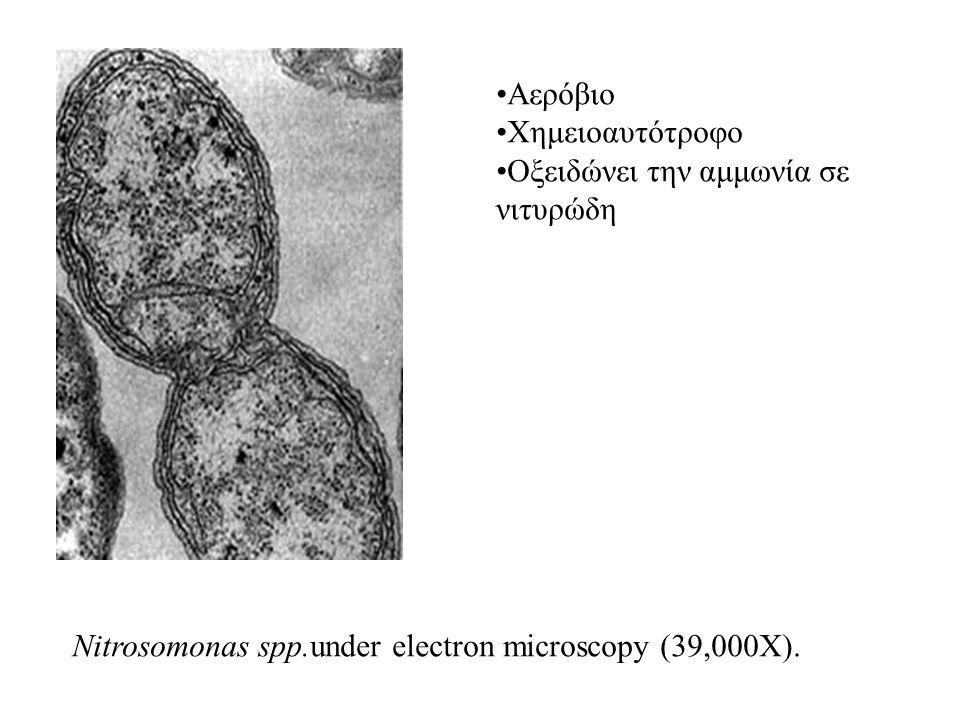Nitrosomonas spp.under electron microscopy (39,000X). Αερόβιο Χημειοαυτότροφο Οξειδώνει την αμμωνία σε νιτυρώδη