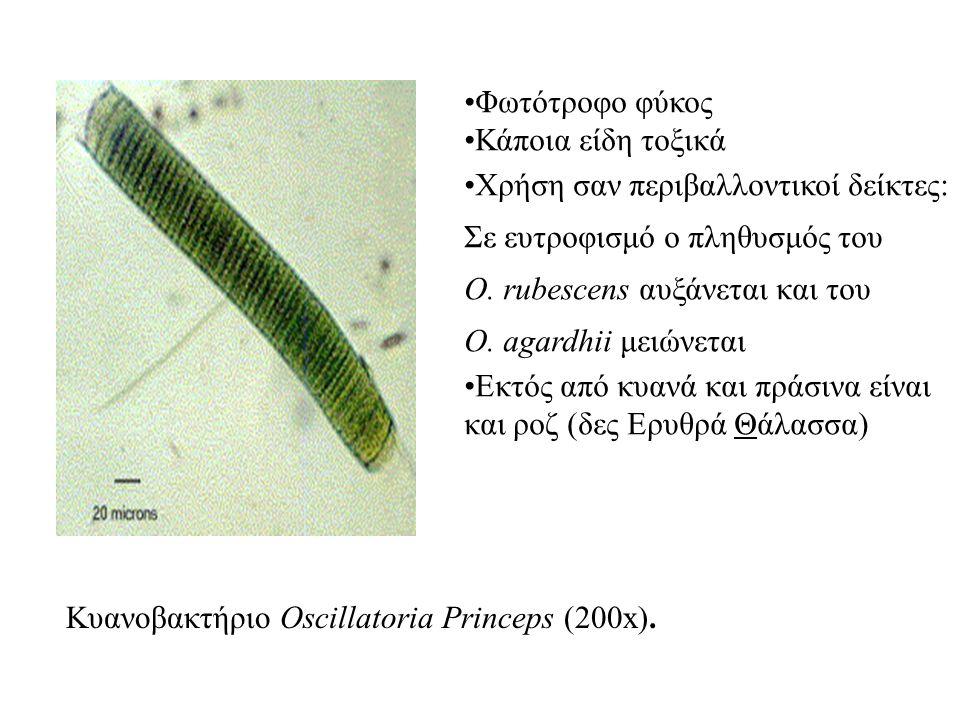 Κυανοβακτήριο Oscillatoria Princeps (200x). Φωτότροφο φύκος Κάποια είδη τοξικά Χρήση σαν περιβαλλοντικοί δείκτες: Σε ευτροφισμό ο πληθυσμός του O. rub