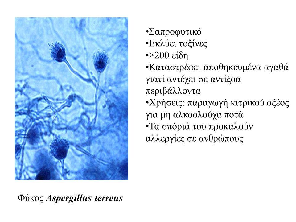Φύκος Aspergillus terreus Σαπροφυτικό Εκλύει τοξίνες >200 είδη Καταστρέφει αποθηκευμένα αγαθά γιατί αντέχει σε αντίξοα περιβάλλοντα Χρήσεις: παραγωγή