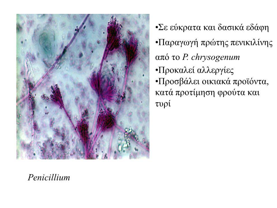 Penicillium Σε εύκρατα και δασικά εδάφη Παραγωγή πρώτης πενικιλίνης από το P. chrysogenum Προκαλεί αλλεργίες Προσβάλει οικιακά προϊόντα, κατά προτίμησ