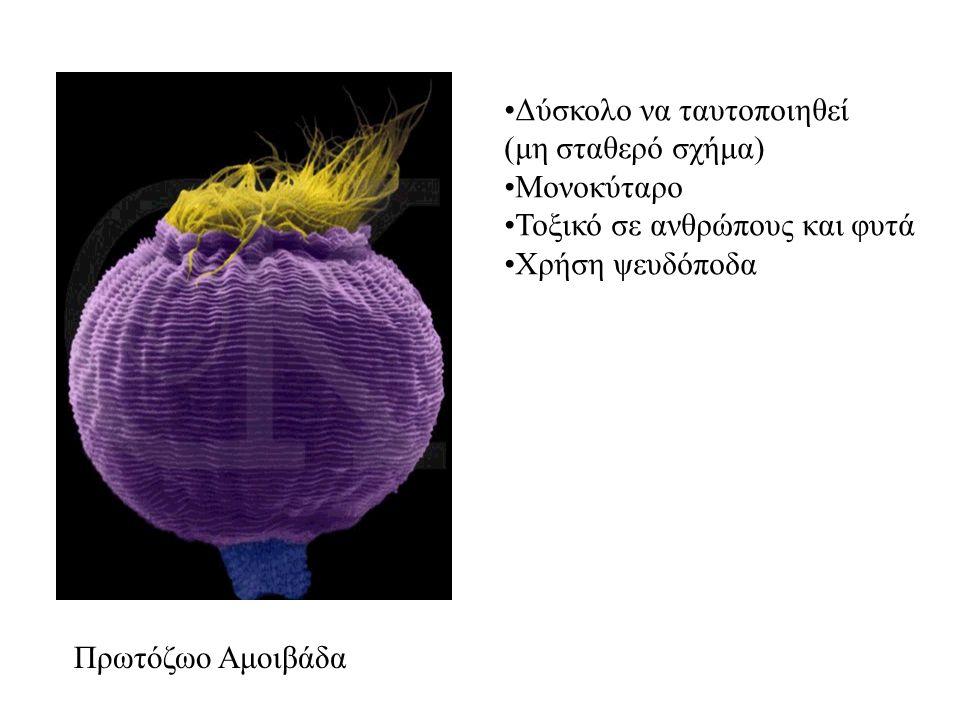 Πρωτόζωο Αμοιβάδα Δύσκολο να ταυτοποιηθεί (μη σταθερό σχήμα) Μονοκύταρο Τοξικό σε ανθρώπους και φυτά Χρήση ψευδόποδα
