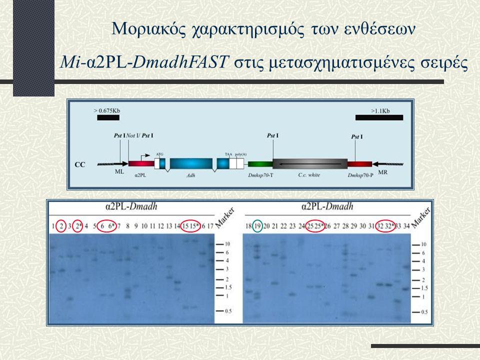 Μοριακός χαρακτηρισμός των ενθέσεων Mi-α2PL-DmadhFAST στις μετασχηματισμένες σειρές
