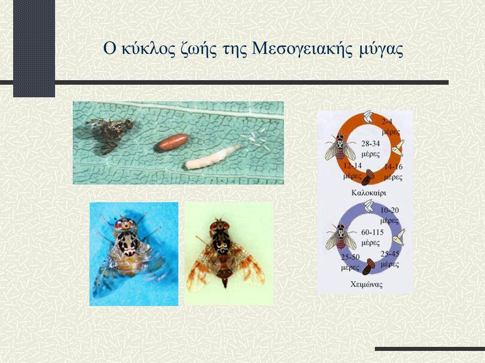 εντομοκτόνα: η έντονη χρήση τους έκανε περισσότερο ανθεκτικούς τους πληθυσμούς, ενώ επιπλέον δεν είναι φιλικά προς το περιβάλλον : βιολογικές μέθοδοι πληθυσμιακού ελέγχου: α) α) παγίδες β) β) παράσιτα της μύγας γ) γ) Τεχνική Στείρων Εντόμων (Sterile Insect Technique) Μέθοδοι καταπολέμησης της Μεσογειακής μύγας