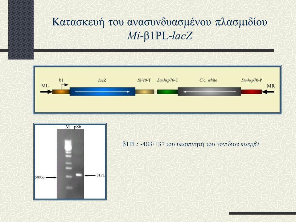 β1PL: -483/+37 του υποκινητή του γονιδίου msspβ1 Κατασκευή του ανασυνδυασμένου πλασμιδίου Mi-β1PL-lacZ