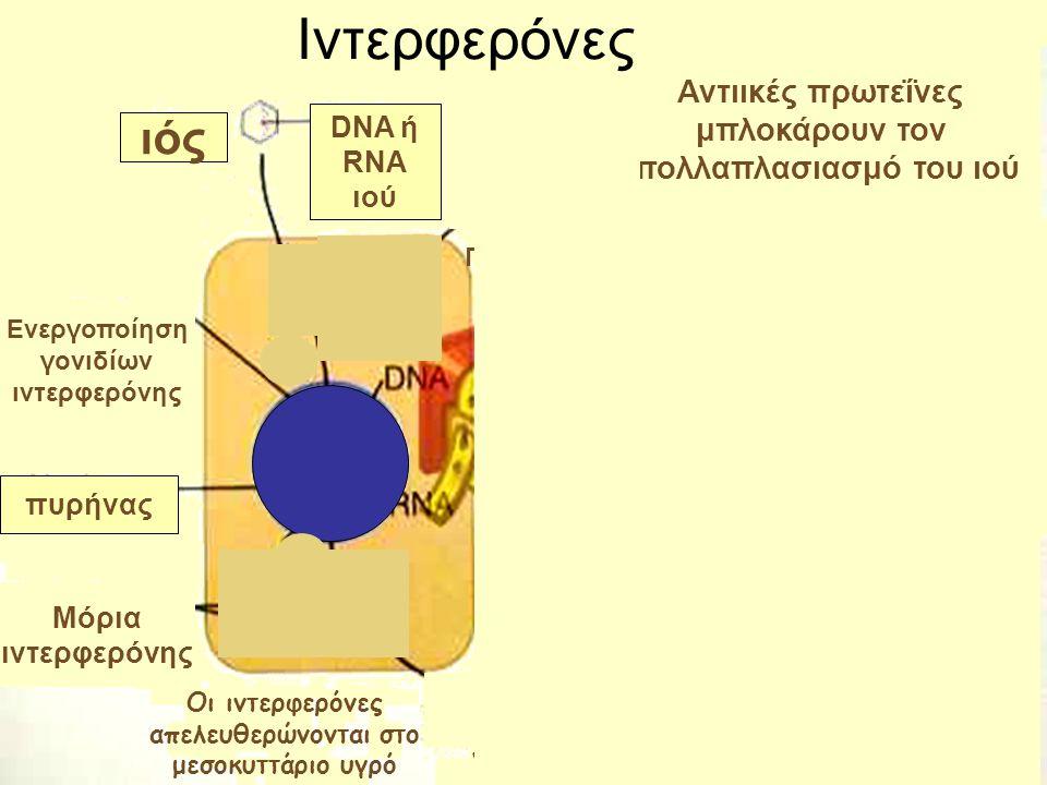 ιός DNA ή RNA ιού Ενεργοποίηση γονιδίων ιντερφερόνης πυρήνας Μόρια ιντερφερόνης Αντιικές πρωτεΐνες μπλοκάρουν τον πολλαπλασιασμό του ιού Η ιντερφερόνη ενεργοποιεί γονίδια του κυττάρου που κωδικοποιούν αντιικές πρωτεΐνες Παραγωγή νέων ιών Ιντερφερόνες Οι ιντερφερόνες απελευθερώνονται στο μεσοκυττάριο υγρό και συνδέονται με υποδοχείς υγιών γειτονικών κυττάρων