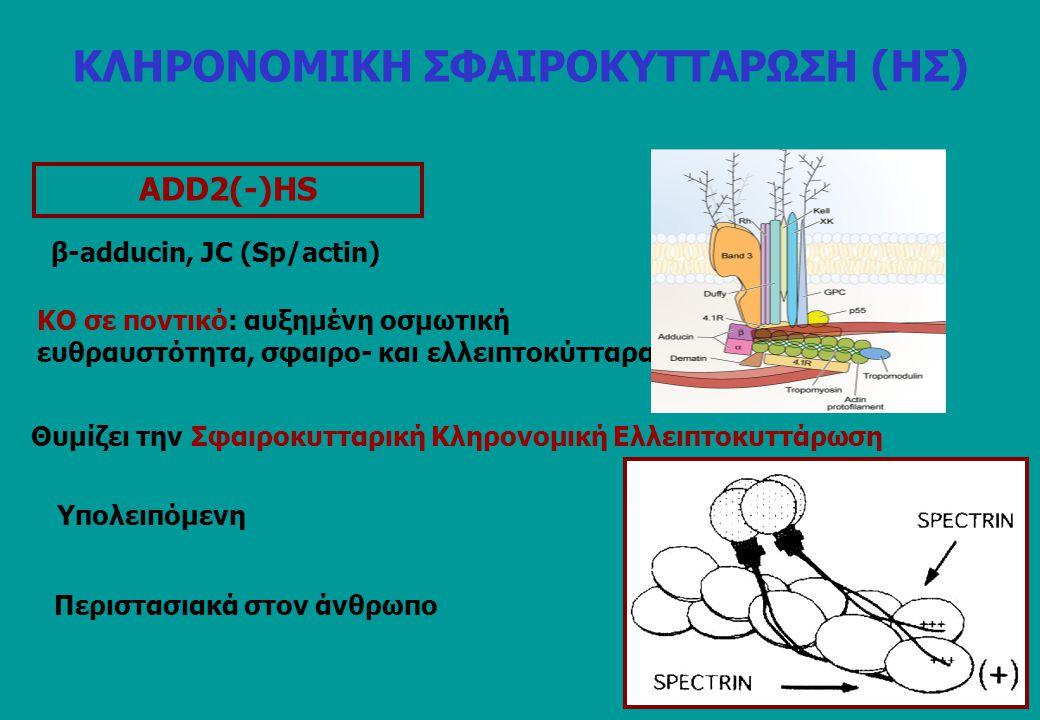 ΑDD2(-)HS Περιστασιακά στον άνθρωπο β-adducin, JC (Sp/actin) ΚΟ σε ποντικό: αυξημένη οσμωτική ευθραυστότητα, σφαιρο- και ελλειπτοκύτταρα Θυμίζει την Σ