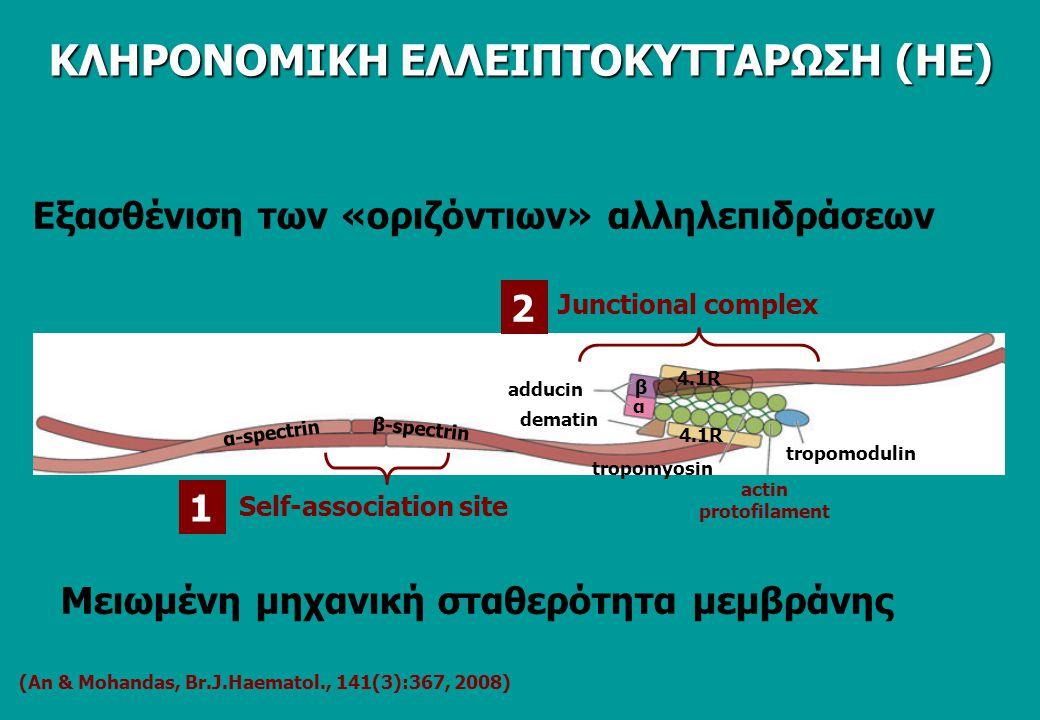 (Αn & Mohandas, Br.J.Haematol., 141(3):367, 2008) Εξασθένιση των «οριζόντιων» αλληλεπιδράσεων α-spectrin β-spectrin adducin α β 4.1R tropomodulin actin protofilament tropomyosin dematin Junctional complex Self-association site 1 2 Μειωμένη μηχανική σταθερότητα μεμβράνης ΚΛΗΡΟΝΟΜΙΚΗ ΕΛΛΕΙΠΤΟΚΥΤΤΑΡΩΣΗ (ΗΕ)