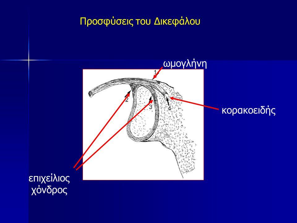 Προσφύσεις του Δικεφάλου ωμογλήνη επιχείλιος χόνδρος κορακοειδής